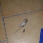 Agrigento, topi alla scuola Manhattan: Vaccarello contro l'assessore Biondi