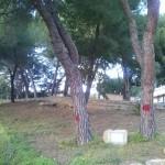 """Agrigento, Carlisi (M5S) sui Pini da abbattere: """"si può passeggiare in quei Viali?"""""""