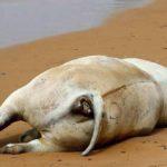 Agrigento, vitello morto sulla spiaggia del Caos – VIDEO