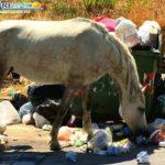 All'emergenza rifiuti ci pensano di cavalli. Equini pascolano fra l'immondizia