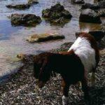 Scala dei Turchi: sulla spiaggia ecco che spunta una capra