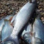 Moria di pesci alla foce del fiume Platani: è allarme – VIDEO