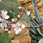 La primavera fa capolino ad Agrigento: fioriti i mandorli del giardino botanico