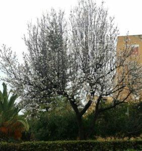 mandorlo giardino botanico