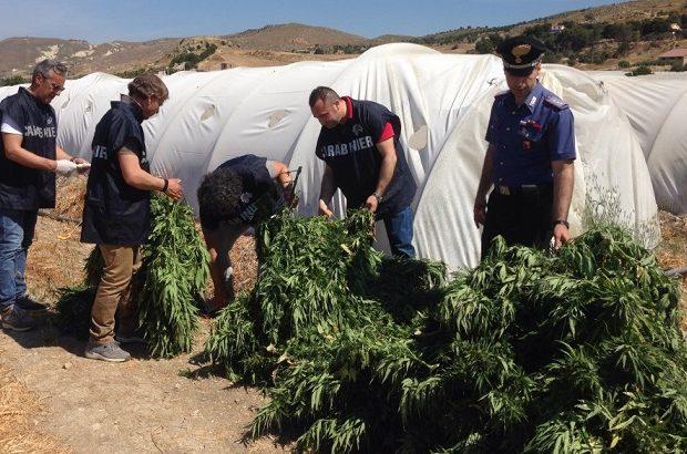 Licata, rinvenuta maxi piantagione di marijuana: in manette un 23enne