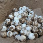 """Sciacca, soccorso un """"nido"""" con uova di tartarughe marine: volontari a lavoro"""