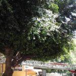 Manutenzione del verde pubblico,  l'Ordine dei dottori Agronomi e dei dottori Forestali invita ad evitare la capitozzatura