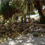 Agrigento, alberi pericolanti: interdetta area al piazzale Aldo Moro