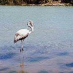 Agrigento, fenicottero sosta alla foce del fiume Naro – VIDEO