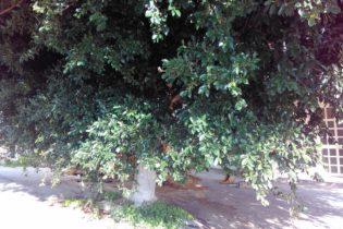 Agrigento, alberi abbandonati al viale Monserrato: Borsellino chiede interventi