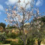 Eco Museo del Giardino Botanico: i mandorli fioriti rinnovano il mito di Proserpina