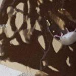 Favara, alimenti senza tracciabilità e mal conservati: chiuso un ristorante con topi morti in cucina – VIDEO