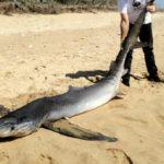 Uno squalo a Borgo Bonsignore: trovata morta una verdesca di 3 metri