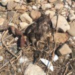Moria di anatre e dei pesci nella foce del fiume Akragas ad Agrigento: scoperta la causa – VIDEO
