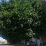 Abbandono a Monserrato: alberi non potati e situazione di pericolo per le strade – VIDEO