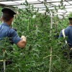 """Maxi piantagione a Ribera tra ulivi e fichi d'india, sequestrata circa una tonnellata di """"Marijuana"""": in manette una coppia di agricoltori"""