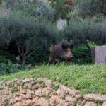 """Agrigento, cinghiali a """"spasso"""" in piena area archeologica: paura per due turisti – FOTO"""