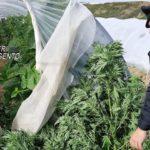 Marijuana fra le zucchine, blitz all'interno di un fondo agricolo nel licatese: due persone in manette