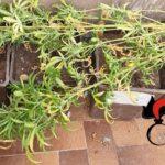 Coltivava in casa delle piantine di marijuana: denunciato a Burgio