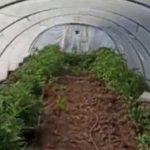 Licata, invece dei meloni una serra di Cannabis: denunciati padre e figlio