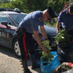 Piantagione di Cannabis in riva al mare: un arresto a Licata