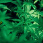 Menfi, 43enne beccato con marijuana e piante di cannabis: arrestato