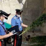Trovata una piantagione di cannabis nascosta tra gli olivi: due arresti a Ravanusa