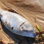 Realmonte, pesci morti sulla spiaggia di Giallonardo – VIDEO