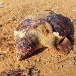 San Leone, tartaruga morta in spiaggia: aveva ingoiato un amo da pesca – VIDEO