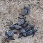 Continua con grande successo la schiusa delle tartarughe a Lampedusa: ad oggi 220 nati
