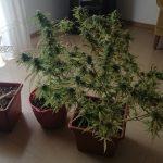 Agrigento, coltivava Canapa sul balcone di casa: scatta la denuncia